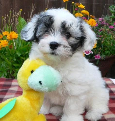 so havanese havanese puppy looking so with its yellow jpg hi res 720p hd
