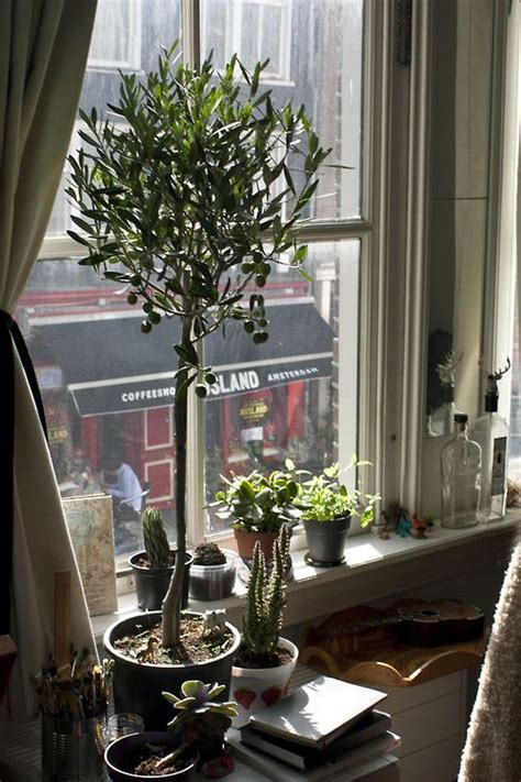 growing topiary olive tree plants potted trees olive tree