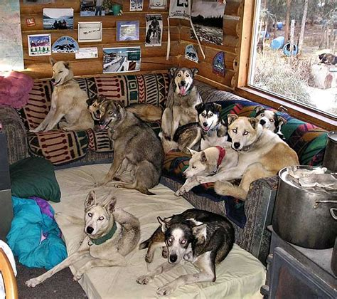 full house dog a house full of huskies yukon news