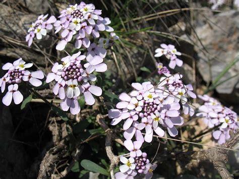 Catokan Amarah fleurs du roussillon