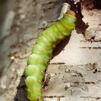 where to find caterpillars in your backyard how to find a caterpillar in your front yard ehow