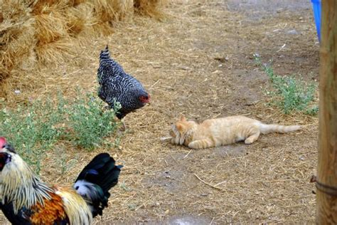 Backyard Chickens And Cats Who Say S Cat S And Chickens Can T Get Along Backyard