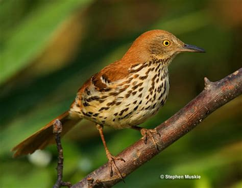 brown thrasher learn or die