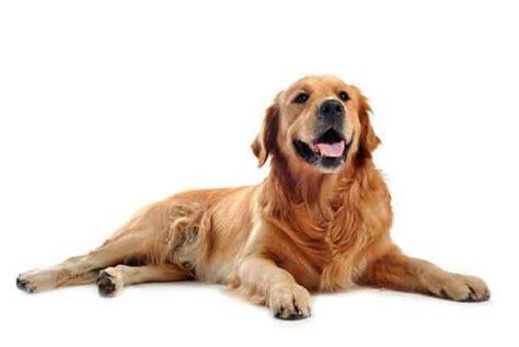 golden retriever ta perro golden retriever 7 cosas obligadas a saber si tienes uno