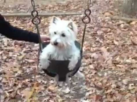 dog in baby swing west highland white terrier video funnydog tv