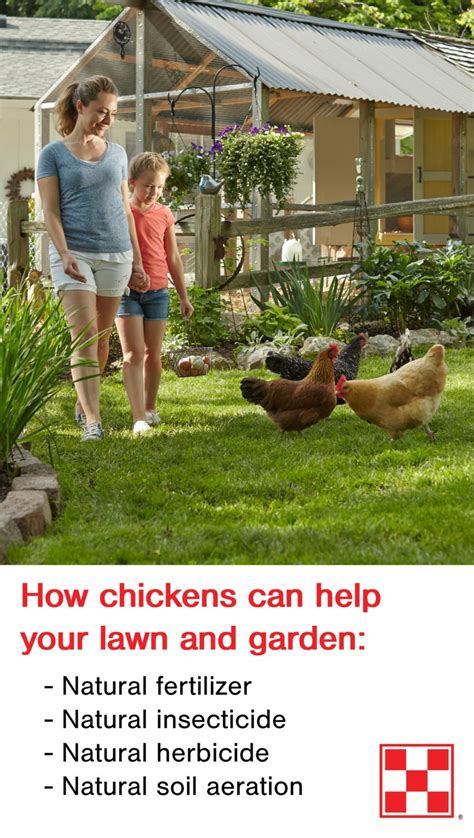 backyard chickens and flies lawn and garden tip backyard chickens as a natural way to