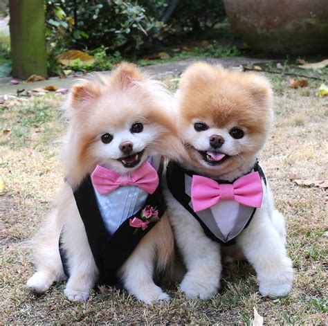 is boo the a pomeranian who is the cuter pom boo or jiff pet radio magazine