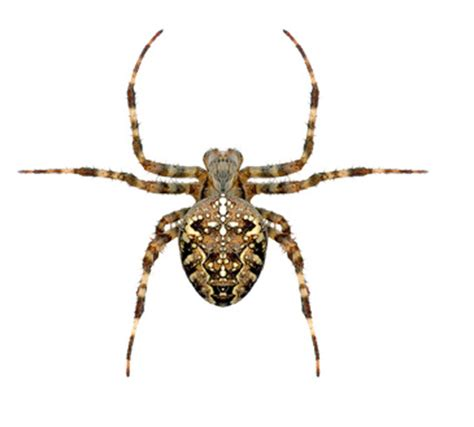 are house spiders dangerous poisonous house spiders in the uk ehow uk poisonous pinterest house spider
