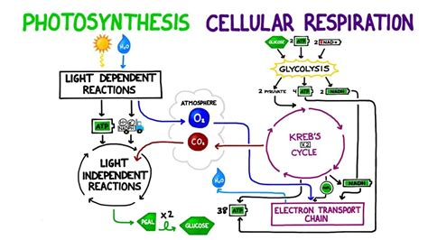 complete the venn diagram about photosynthesis and respiration photosynthesis vs cellular respiration comparison