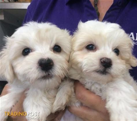 shih tzu for sale brisbane maltese x shih tzu puppies at puppy shack brisbane maltshitzu maltzu for sale in