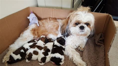 cava tzu puppies for sale gorgeous cava tzu puppies for sale hull east of pets4homes