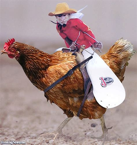 rooster and monkey monkey cowboy riding chicken pictures