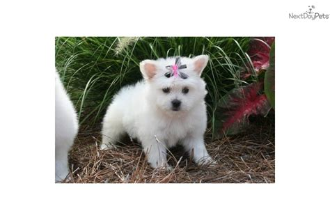 Less Shedding Dogs by Pearl Pomapoo Less Shedding Pomeranian Puppy For Sale Near Louisiana 10332084 F201