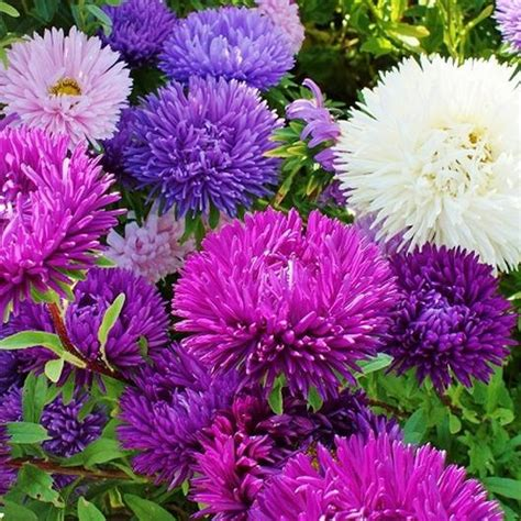 10 Biji Benih Powder Puff Aster aster seeds quot gremlin mix quot