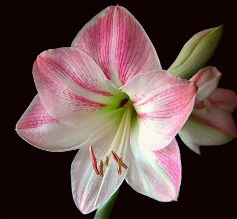 caring for amaryllis in the winter continuous amaryllis blooms the old farmer s almanac