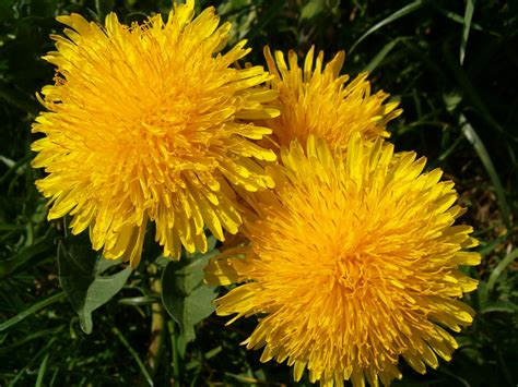 Dandelion Detox For Liver by Dandelion Root Liver Cleanse Dandelion Root Health Benefits