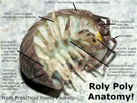 pillbug diagram backyard bugs roly poly or potato bug or pill bug or wood