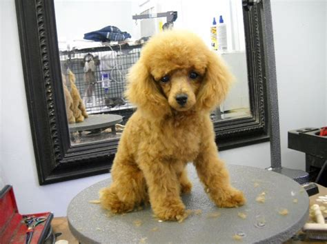 diffrent cuts for toy poodles best 25 poodle grooming ideas on pinterest