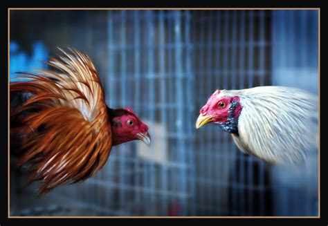 gallo a ti los animales me importan huancayo ciudad de gallos