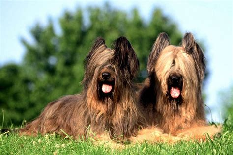 briard puppies for sale briard puppies for sale from reputable breeders