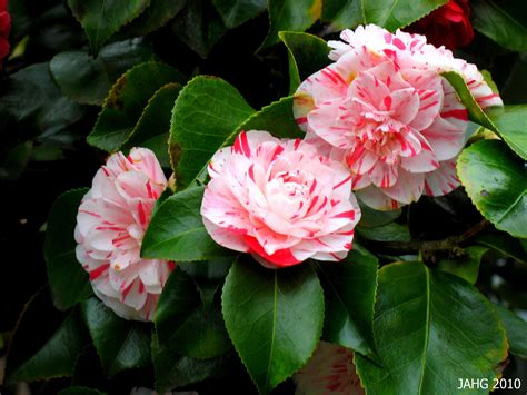 camellia x williamsii donation name that plant
