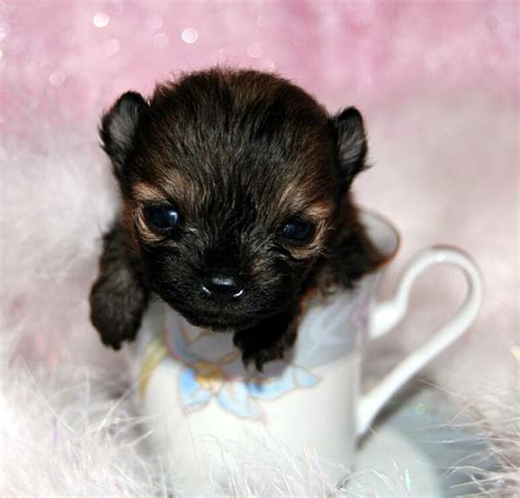 where can i buy teacup pomeranian pomeranians puppies for sale by the bomb poms