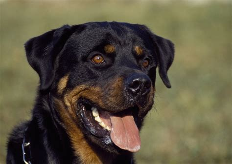 Why Does Rottweiler Shed So Much by 100 Terrierman U0027s Daily Dose 10 100 Pekingese