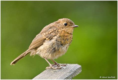 dave bartlett bird photography robin juvenile
