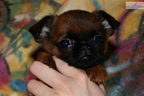 brussels griffon puppies for sale brussels griffon puppy for sale near south florida florida d7c62741 e001