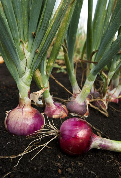 Gardening Onions by Growing And Harvest Information Growing Vegetables