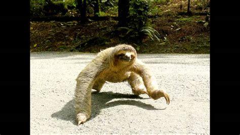 Sloth Whisper Meme - rainforest sloth memes