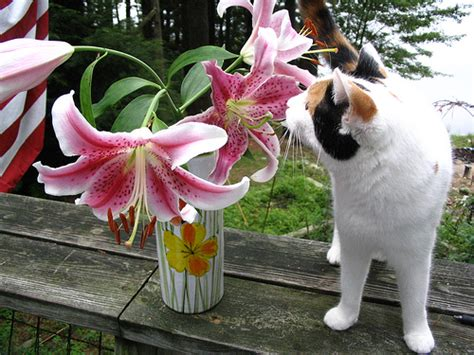 the truth about easter lily toxicity poisonous plants for cats petsci