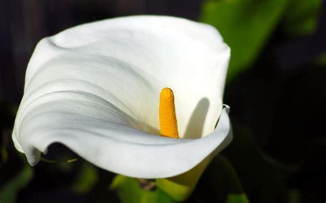 calla cndida calla calla macro fleur fond d 233 cran 2560x1600 t 233 l 233 chargement 10wallpaper com