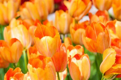 significato dei fiori tulipani qual 232 il significato dei fiori arancioni