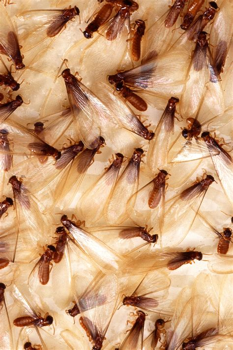 Termites In Furniture by Termites Pest Company In New York Ny Pest Pro Inc
