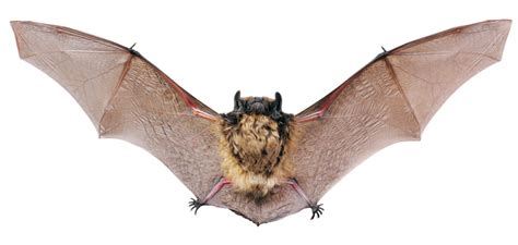 how to keep bats from calling your home theirs hudson