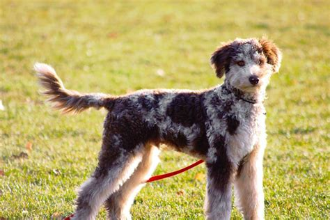 aussiedoodle puppies for sale nc aussiedoodle rescue colorado breeds picture