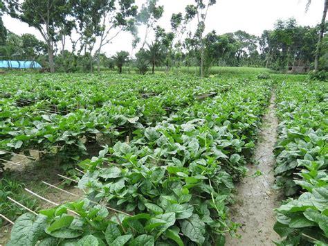 green bangladesh malabar spinach seed packet echo