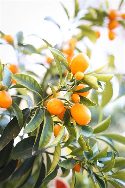 new year citrus tree 216 best images about citrus trees on