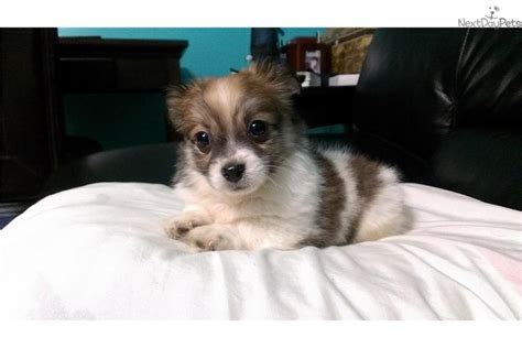 havanese puppies washington chocolate havanese designer dogs pictures photos pics images breeds picture