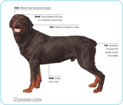 german vs american rottweiler difference between an american rottweiler and a german rottweiler pictures of