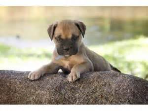 bullmastiff puppies for sale michigan bullmastiff puppies for sale in fowlerville michigan mi akc breeds picture