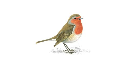 robin breast bird facts erithacus rubecula the rspb