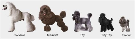 Can My Teacup Poodle Get The Standard Poodle Haircut | tinylatoyteacuppoodles