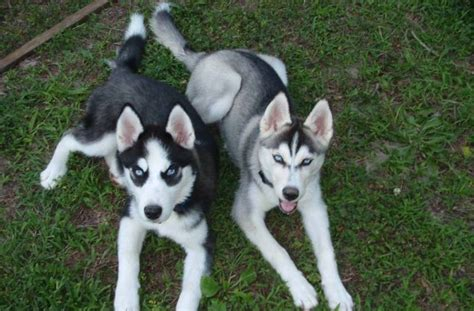 buy pomsky puppies pomsky puppies for sale in virginia adopt pomeranian husky mix in va