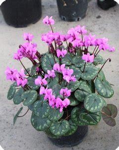deer resistant laser cyclamen cyclamen coum large pink hardy cyclamen plant lust