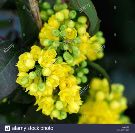 evergreen shrub with yellow flowers mahonia x herveyi yellow flowers closeup scented