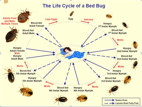 life cycle of bed bugs picture insights bed bugs