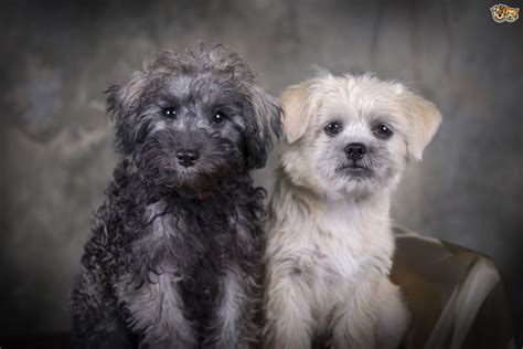 characteristics of dogs the characteristics of the schnoodle pets4homes