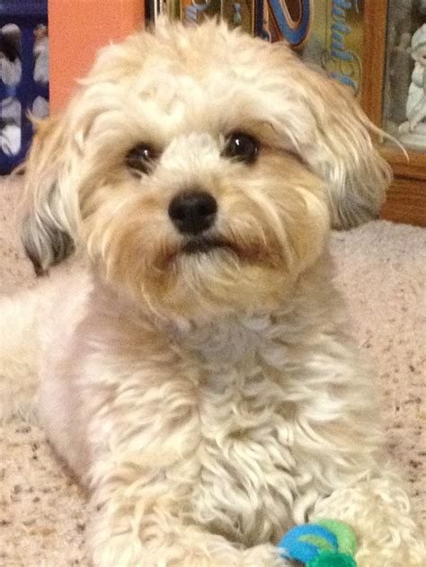 lhasa poodle mix and poodles on pinterest 17 best images about lhasa poodle mix on pinterest